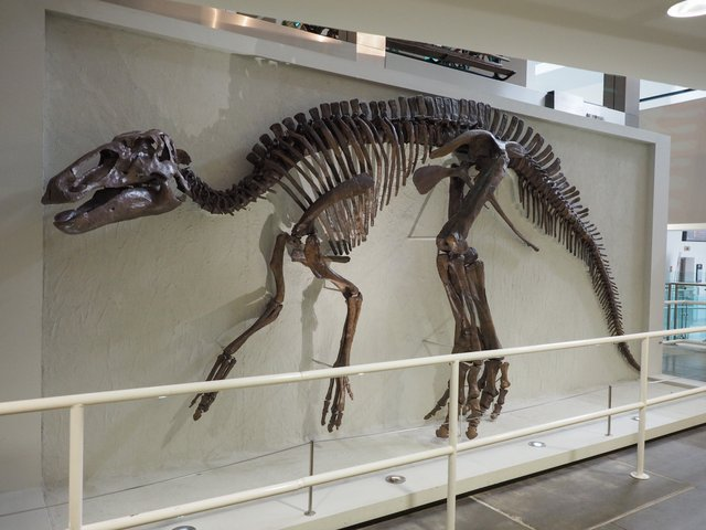 Edmontosaurus-skeleton-AdventureDinosaurs