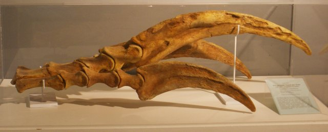 PhotoCredit_Fossil-of-Therinzosaurus-by-Ghedoghedo-CC-BY-SA-3_0-AdventureDinosaurs
