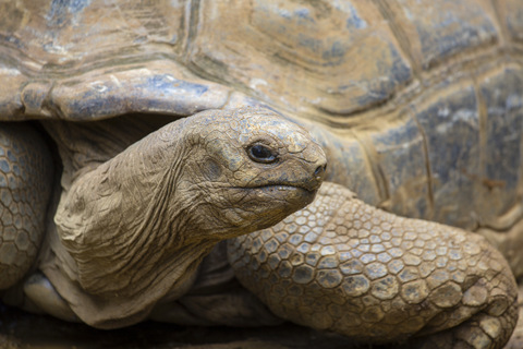Galapagos-tortoise-is-distantly-related-to-dinosaurs-AdventureDinosaurs