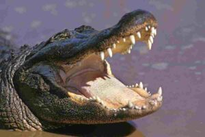 Alligators-have-wider-snouts-and-are-relatives-of-dinosaurs-AdventureDinosaurs