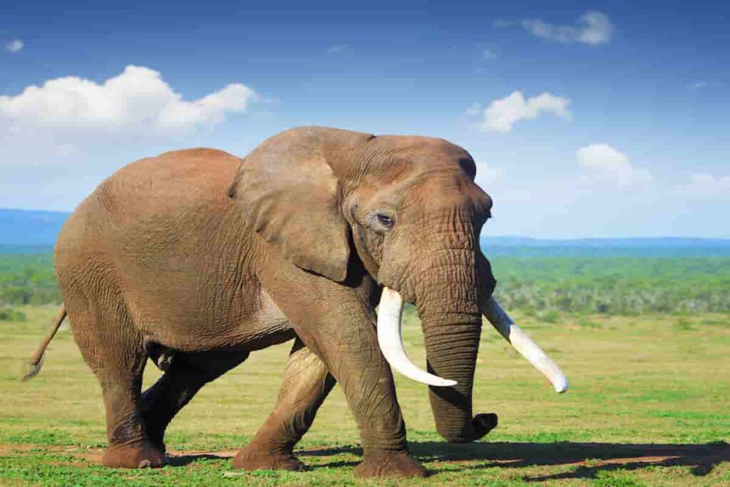 elephants-are-mammals-and-their-skin-is-different-to-triceratops-AdventureDinosaurs