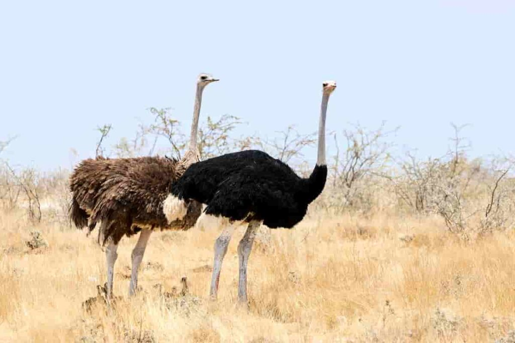 ostriches-look-similar-to-theropod-dinosaurs-and-lived-together-with-dinosaurs-AdventureDinosaurs